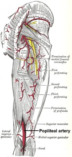 vascular anatomy diagram lower sew encoder wiring popliteal artery wikipedia