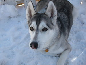 English: Female Siberian Husky in the snow