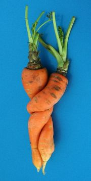 English: Two carrots (Daucus carota) which gre...