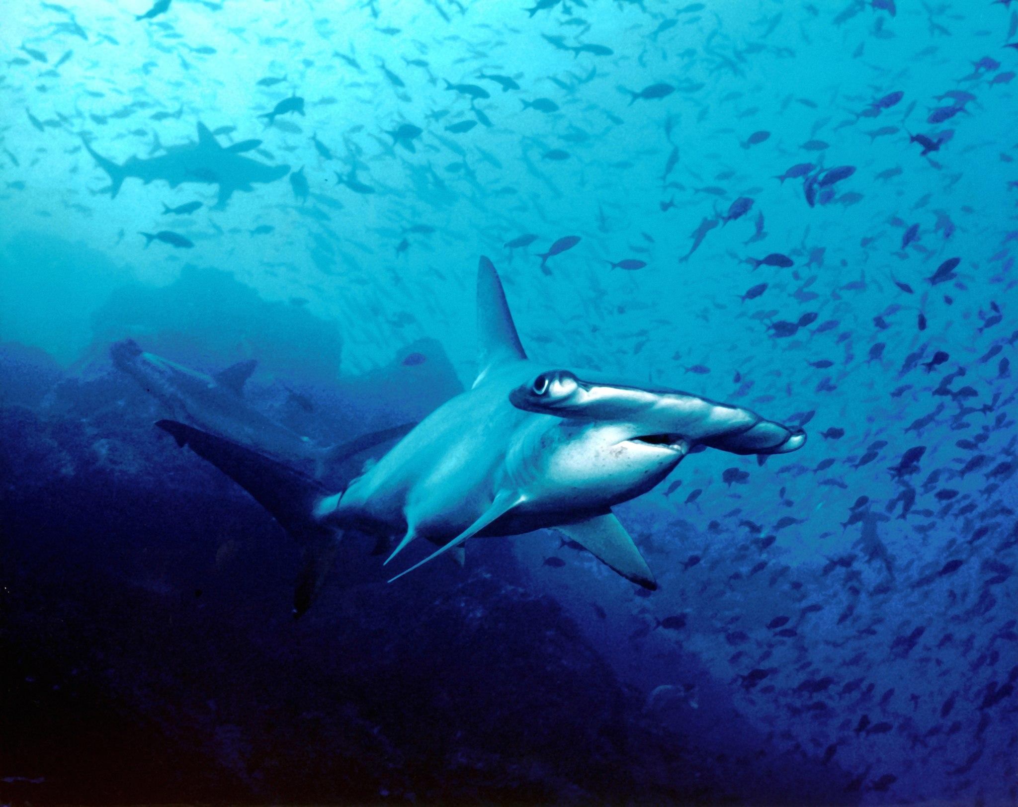 Hammerhead shark, Cocos Island, Costa Rica