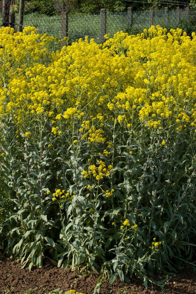 """Isatis tinctoria habitus-Von <a href=""""//commons.wikimedia.org/wiki/User:Alupus"""" title=""""User:Alupus"""">Alupus</a> - <span class=""""int-own-work"""" lang=""""de"""">Eigenes Werk</span>, <a href=""""https://creativecommons.org/licenses/by-sa/3.0"""" title=""""Creative Commons Attribution-Share Alike 3.0"""">CC BY-SA 3.0</a>, <a href=""""https://commons.wikimedia.org/w/index.php?curid=15084341"""">Link</a>"""