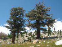 Pinus balfouriana - Wikipedia