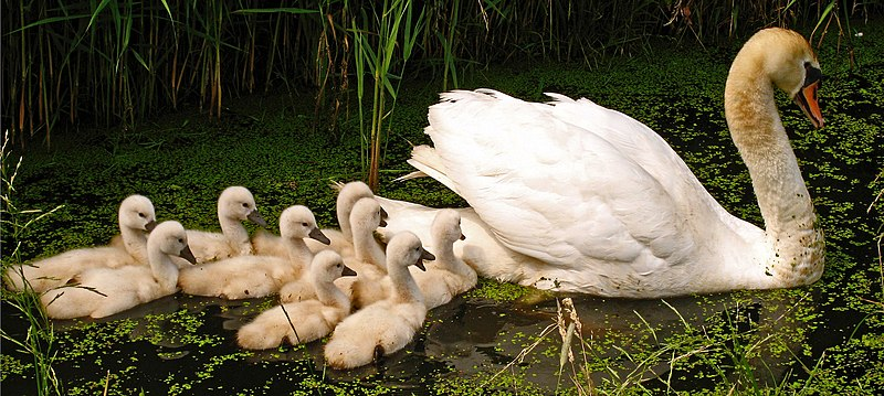 File:Swan with nine cygnets 3.jpg