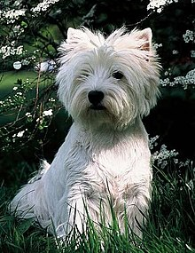 What Kind Of Dog Is The Cesar Dog : cesar, Highland, White, Terrier, Wikipedia