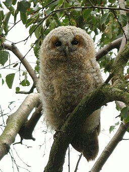 Young tawny owl - geograph.org.uk - 1405657