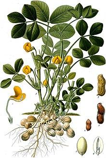 Nama Ilmiah Kacang Tanah : ilmiah, kacang, tanah, Kacang, Tanah, Wikipedia, Bahasa, Indonesia,, Ensiklopedia, Bebas
