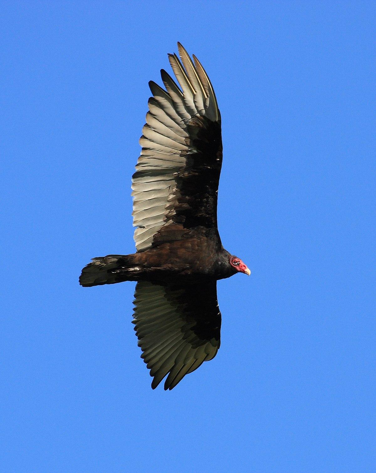 Oiseau Qui Vole Le Plus Haut : oiseau, Charge, Alaire, (oiseau), Wikipédia