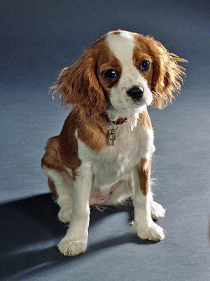 Cavalier King Charles Spaniel, female.