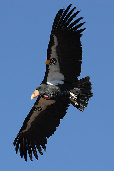File:Condor in flight.JPG