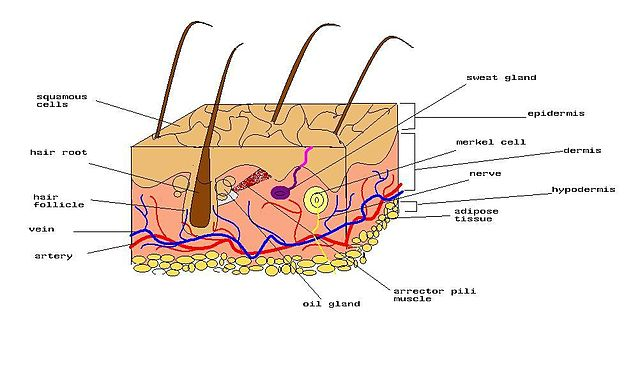 skin layers diagram labeled simple 24 volt relay wiring human and electrical schematic file of jpg wikimedia commons rh org