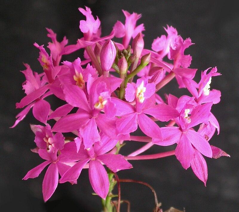 Epidendrum denticulatum inflorescence.jpg