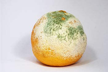 English: A clementine covered with mould