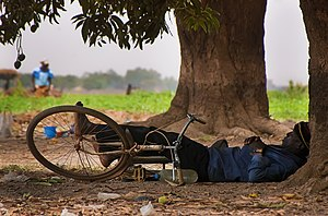 Man sleeping siesta under mango trees in irrig...
