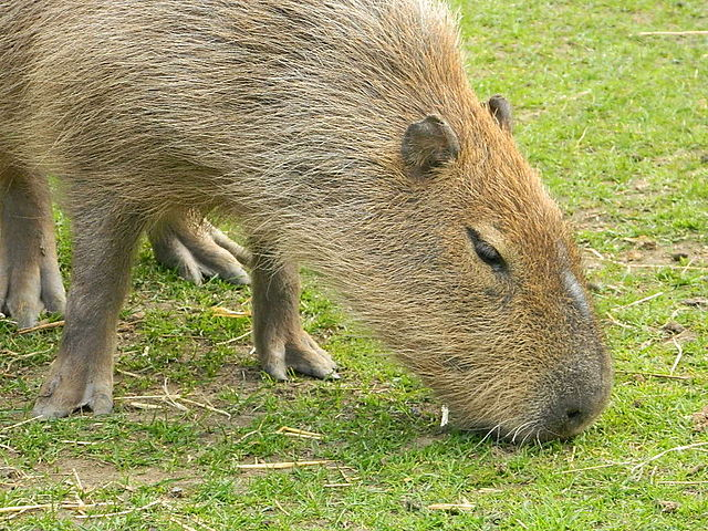 Capybara by Finlay Cox http://commons.wikimedia.org/wiki/User:FinlayCox143