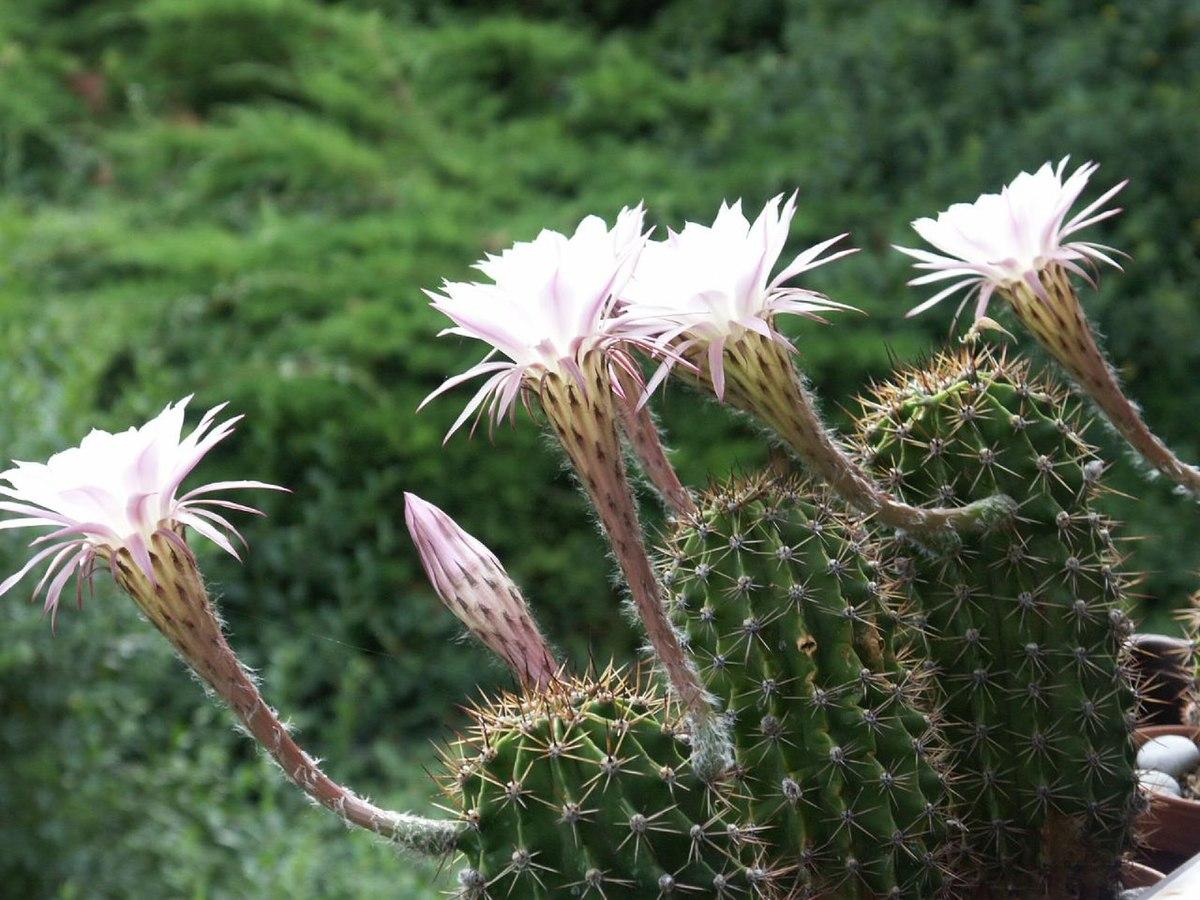 Echinopsis  Wikispecies