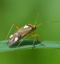 diagram of rice bug [ 1200 x 1074 Pixel ]
