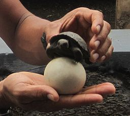 Galapagos egg and hatchling