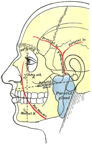Outline of side of face, showing chief surface...