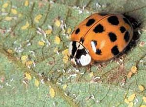 English: Multicolored Asian lady beetle feedin...