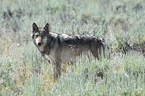 English: Lamar Valley Wolf, Yellowstone Nation...