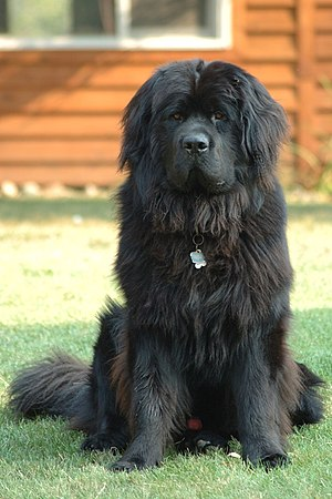A sixteen-month-old Newfoundland named Smoky, ...
