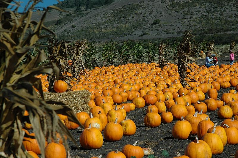 PUMPKINS IN HALF MOON BAY