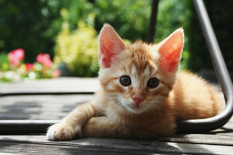 File:Red Kitten 01.jpg