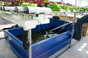 Aquaponics: there are catfish in this tank, fe...
