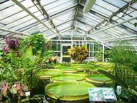 Nymphaea at the botanical Garden in Braunschweig, Germany