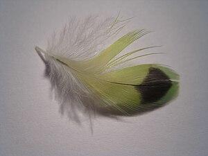 English: A photo of a small green Budgerigar f...