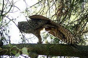 Great Horned Owl, stretching. Bernal Hill Park...