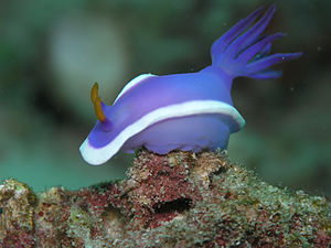 Image of Nudibranch, Hypselodoris cf. bullocki...