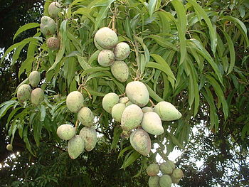 Unripe mangoes on a mango tree