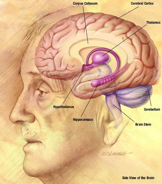 File:NIA human brain drawing.jpg