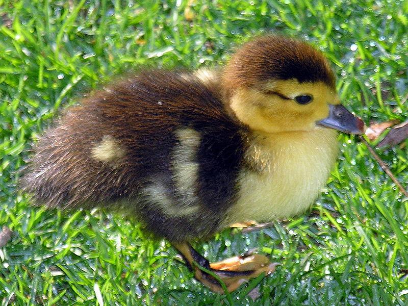 File:Parrulo -Muscovy duckling.jpg