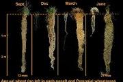 The Big Idea: Perennial Grains