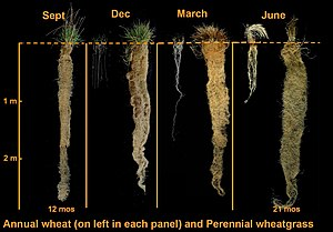 Comparison of wheat roots to those of Thinopyr...
