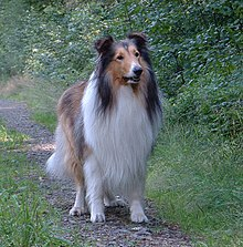 220px AmericanCollie Female Dog Names For Pitbulls