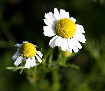 English: Chamomile Flowers For more translatio...