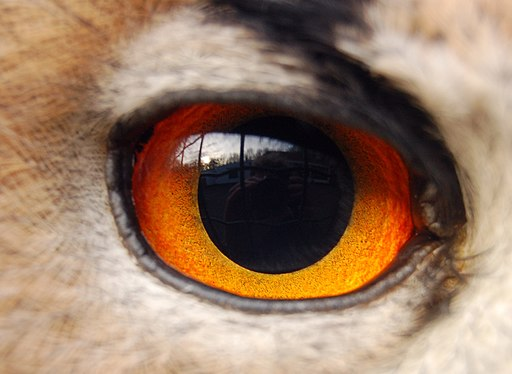 Eagle(owl)-eye