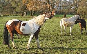 Stallion, typical behaviour during the breedin...