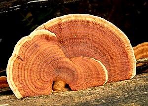English: Fungi growing on tree bark