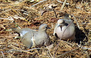 Mourning Doves Cooing Backyard Birds