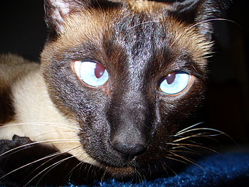 A Siamese Cat displaying the typical blue, cro...