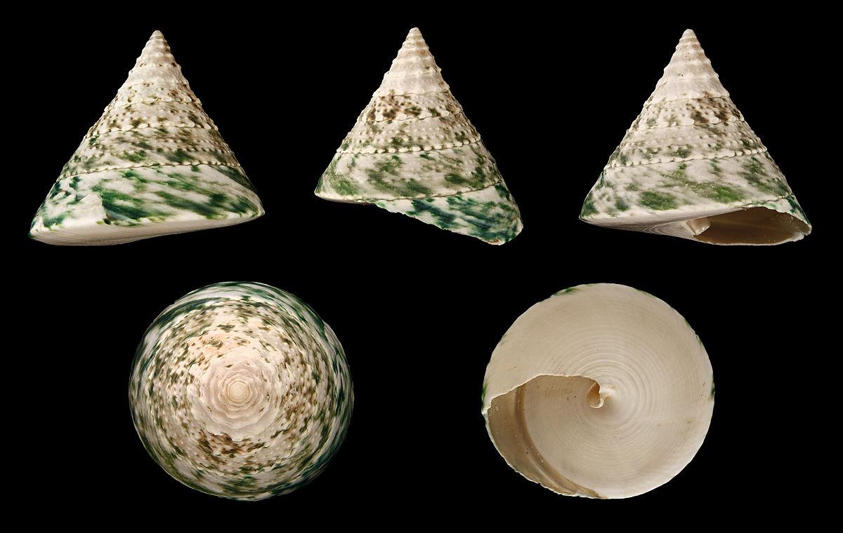 Tectus pyramis  Wikipedia