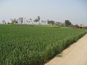English: Wheat fields near Hasilpur in Punjab,...