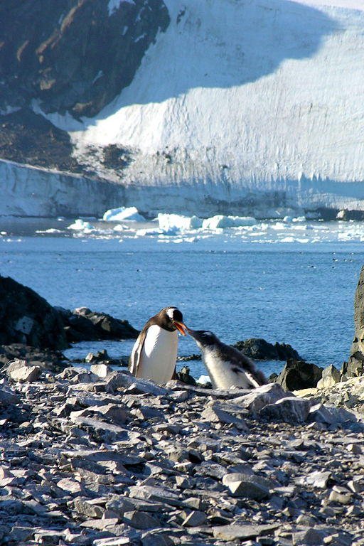 FileGentoo penguins in Antarctica Antarctic Peninsula