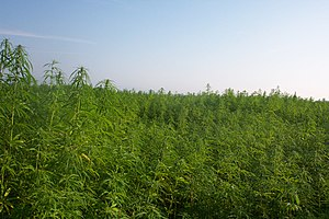 English: Cultivation of industrial hemp for fi...