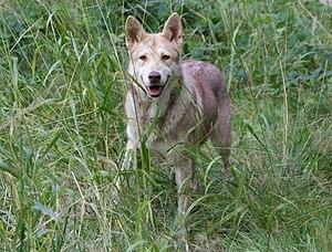 English: Saarloos Wolfdog female Polski: Suczk...