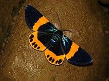 橙帶藍尺蛾 - 維基百科,自由的百科全書